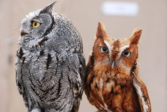 Adorable Western and Eastern Screech Owls Together Royalty Free Stock Photo
