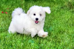 Adorable white Bichon Frise puppy playing in grass. Adorable white and fluffy Bichon Frise pure breed small puppy playing and running in the grass. Copy space royalty free stock photos