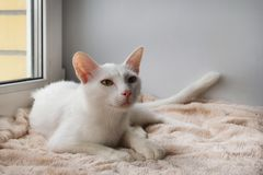 Adorable white cat with green eyes is lying near to the window. Adorable white cat with green eyes is lying on a pink blanket near to the window stock photo