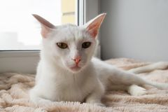 Adorable white cat with green eyes on a pink blanket near to the window is looking into the camera. Adorable white cat with green eyes on a pink blanket near to stock images