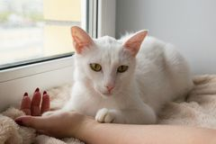 Adorable white cat with wide open green eyes is lying on a pink blanket near to the window and holding hand of its owner. Stock Photography