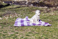 Adorable white dog  all wrapped up in a blue blanket. Royalty Free Stock Images