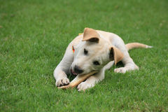 Adorable white dog chewing big bone on grass Stock Images