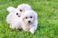 Cute white Bichon puppies playing in green grass. Adorable white and fluffy Bichon Frise pure breed small puppies playing and running in the grass. Copy space royalty free stock photos