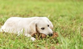 Adorable white Golden Retriever dog play with toy. In the park Royalty Free Stock Image