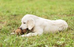 Adorable white Golden Retriever dog play with toy. In the park Stock Image