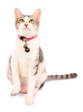 Adorable white gray domestic cat Stock Image