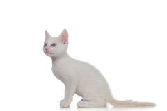 Adorable white kitten with blue eyes Stock Images