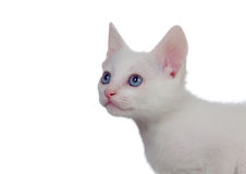 Adorable white kitten with blue eyes Stock Image