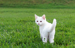 Adorable white kitten in the grass Stock Photography