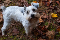Adorable white mini schnauzer standing outdoors in fall leaves. Party Mix Mini Schnauzer standing on the autumn leaves. White puppy dog in her yard with fall Stock Photography