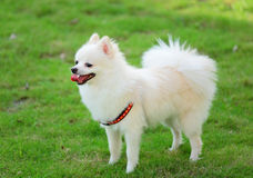 Adorable white pomeranian Royalty Free Stock Photo