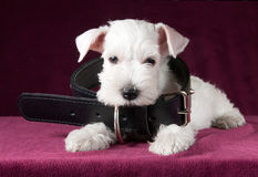 Adorable white puppy with dog collar Royalty Free Stock Photography