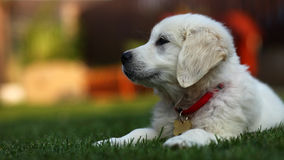 Adorable white puppy sitting sideways  on grass. White golden retriever pup looking adorable Royalty Free Stock Photo
