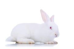 Adorable white rabbit. Royalty Free Stock Photos