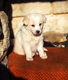 Adorable white shepperd dog puppy Stock Photo