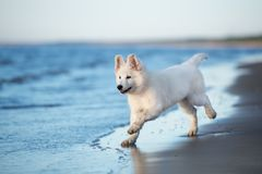 White swiss shepherd puppy playing on the beach Stock Images