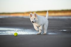 White swiss shepherd puppy playing on the beach Stock Image