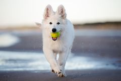 White swiss shepherd puppy playing on the beach Royalty Free Stock Photo