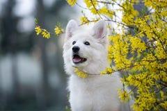 White swiss shepherd puppy posing outdoors Stock Photography