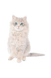Adorable white tabby kitten with blue eyes Stock Image