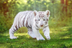 Free Adorable White Tiger Cub Outdoors Royalty Free Stock Photos - 77271228