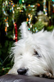 Adorable White West Highland Terrier Dog Resting Her Head On Armchair With Christmas Tree In Background. Royalty Free Stock Image