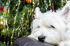 Adorable White West Highland Terrier Dog Resting Her Head On Armchair With Christmas Tree In Background. Royalty Free Stock Photos