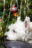 Adorable White West Highland Terrier Dog Resting Her Head On Armchair With Christmas Tree In Background. stock photos