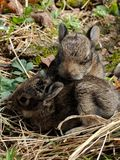 Twins, baby bunnies. These adorable wild bunnies are just the sweetest of the sweet when it comes to wildlife Stock Photos