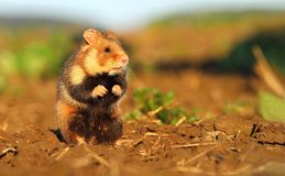 Adorable wild hamster Stock Image