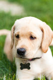 Adorable Yellow Lab Puppy Royalty Free Stock Images