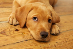 Adorable Yellow Lab Puppy Stock Photography