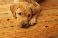 Adorable Yellow Lab Puppy. Portrait of a yellow lab puppy on dark wood floor stock image