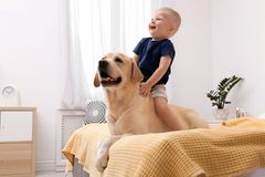 Adorable yellow labrador retriever and little boy. On bed at home royalty free stock images