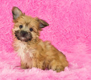 Adorable Yorki-Poo Puppy Stock Photos
