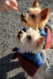 Adorable Yorkie dogs,wearing bandanas Royalty Free Stock Photo