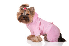 Adorable yorkshire terrier dog in clothes Royalty Free Stock Images