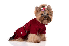 Adorable yorkshire terrier dog in clothes Stock Image