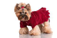 Adorable yorkshire terrier dog in clothes Stock Images