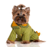 Adorable yorkshire terrier dog in clothes royalty free stock photo