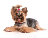 Adorable yorkshire terrier dog Stock Images