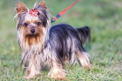 Adorable yorkshire terrier on a leash Stock Photo