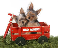 Adorable Yorkshire Terrier Puppies in Red Wagon Royalty Free Stock Image