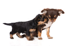 Adorable yorkshire terrier puppy Royalty Free Stock Photo