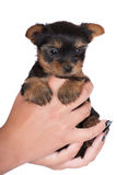 Adorable yorkshire terrier puppy Royalty Free Stock Photography