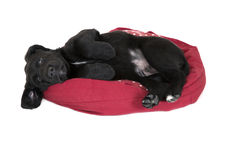 Adorable young black labrador puppy begging laying down Royalty Free Stock Photography