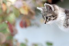 Adorable young cat watching something Royalty Free Stock Photography