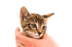 Adorable young cat in woman's hand Stock Images