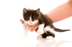 Adorable young cat in woman's hand Royalty Free Stock Photo